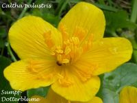caltha_palustris_01