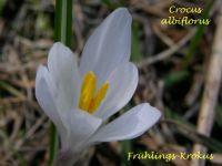 crocus_albiflora_01