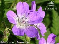 geranium_sylvaticum_01