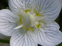 parnassia_palustris_01