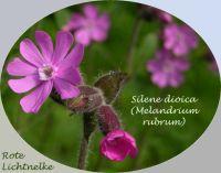 silene_dioica_01