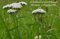 achillea_millefolium_01