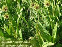 allium_victorialis_01