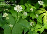 astrantia_major_01