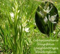 cephalanthera_longifolia_01