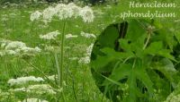 heracleum_sphondylium_01