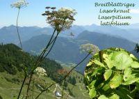 laserpitium_latifolium_01