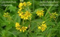 lysimachia_vulgaris_01
