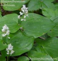 maianthemum_bifolium_01