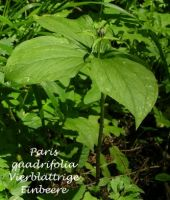 paris_quadrifolia_01