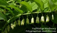 polygonatum_multiflorum_01