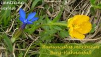 ranunculus_montanus_01