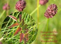 sanguisorba_officinalis_01